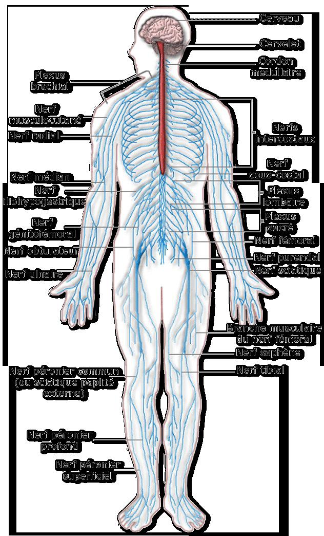 neuro periph